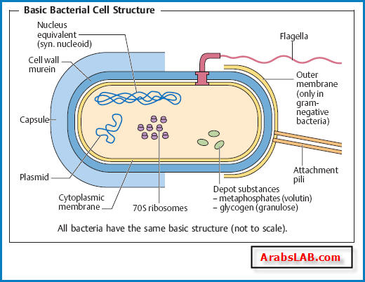 structure of myoglobin diagram structure of bacterial cell diagram