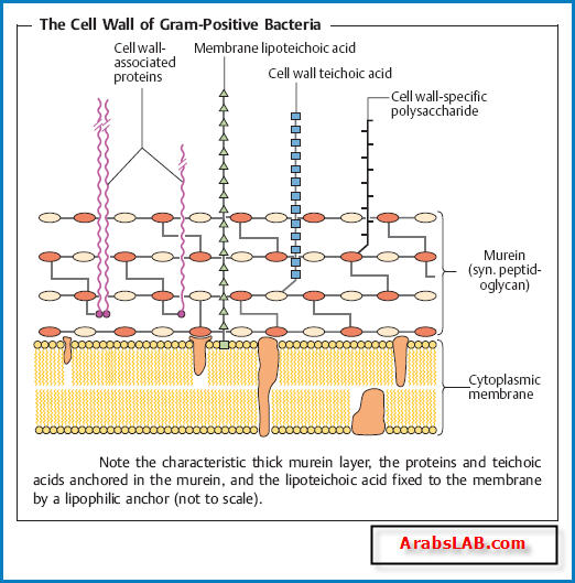 Cell Wall structure - future-vet بيطري المستقبل  Lipoteichoic Acid